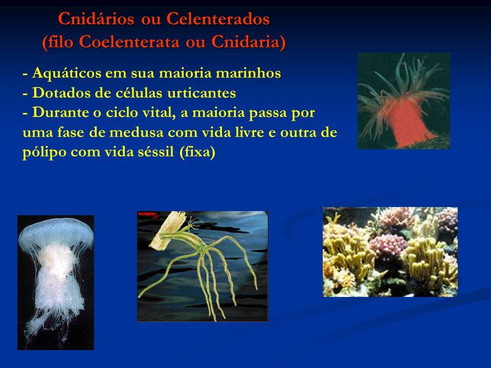 Cnidários ou Celenterados (filo Coelenterata ou Cnidaria) - Aquáticos em sua maioria marinhos - Dotados de células urticantes - Durante o ciclo vital,