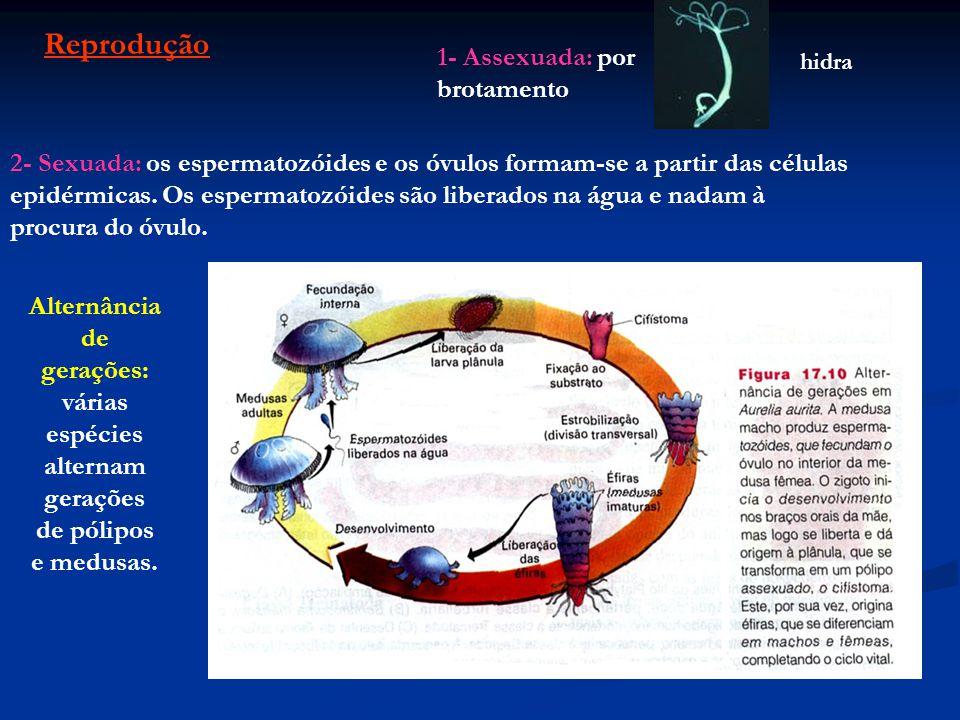 Reprodução 1- Assexuada: por brotamento 2- Sexuada: os espermatozóides e os óvulos formam-se a partir das células epidérmicas. Os espermatozóides são