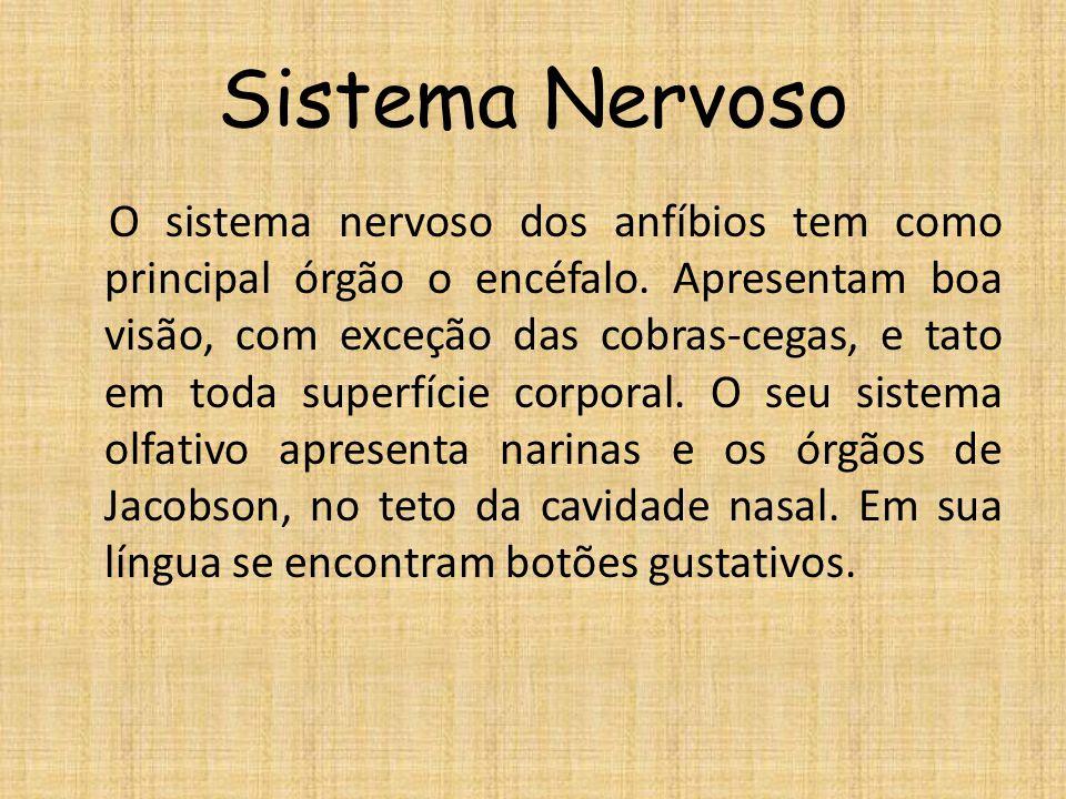 Sistema Nervoso O sistema nervoso dos anfíbios tem como principal órgão o encéfalo. Apresentam boa visão, com exceção das cobras-cegas, e tato em toda