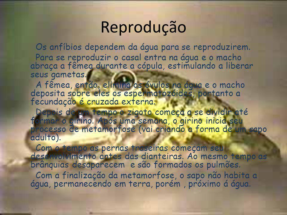 Reprodução Os anfíbios dependem da água para se reproduzirem. Para se reproduzir o casal entra na água e o macho abraça a fêmea durante a cópula, esti