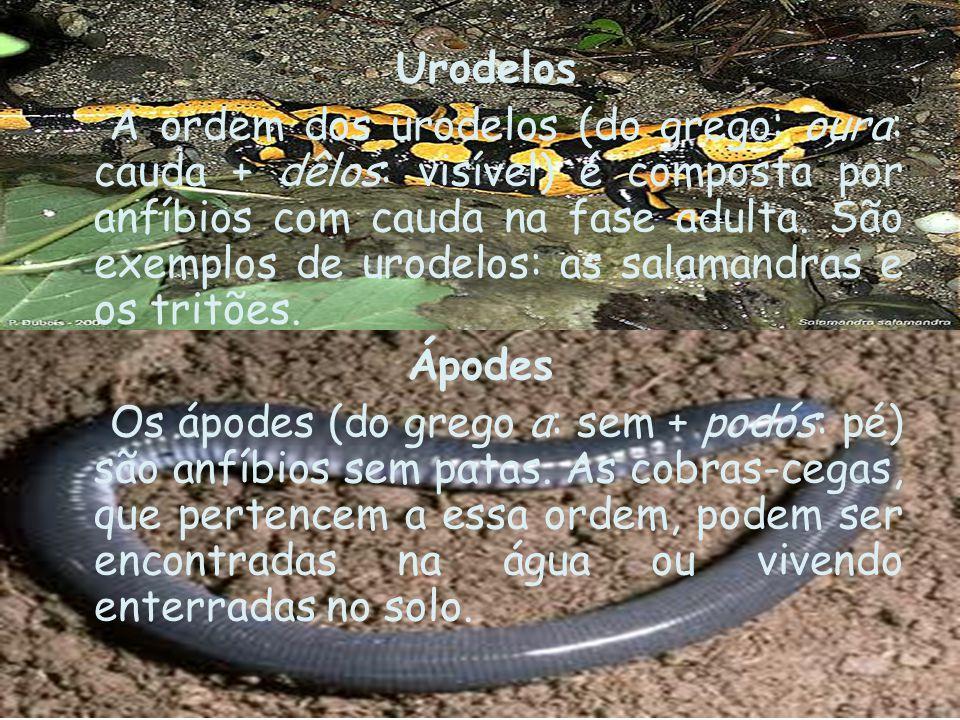 Urodelos A ordem dos urodelos (do grego: oura: cauda + dêlos: visível) é composta por anfíbios com cauda na fase adulta. São exemplos de urodelos: as