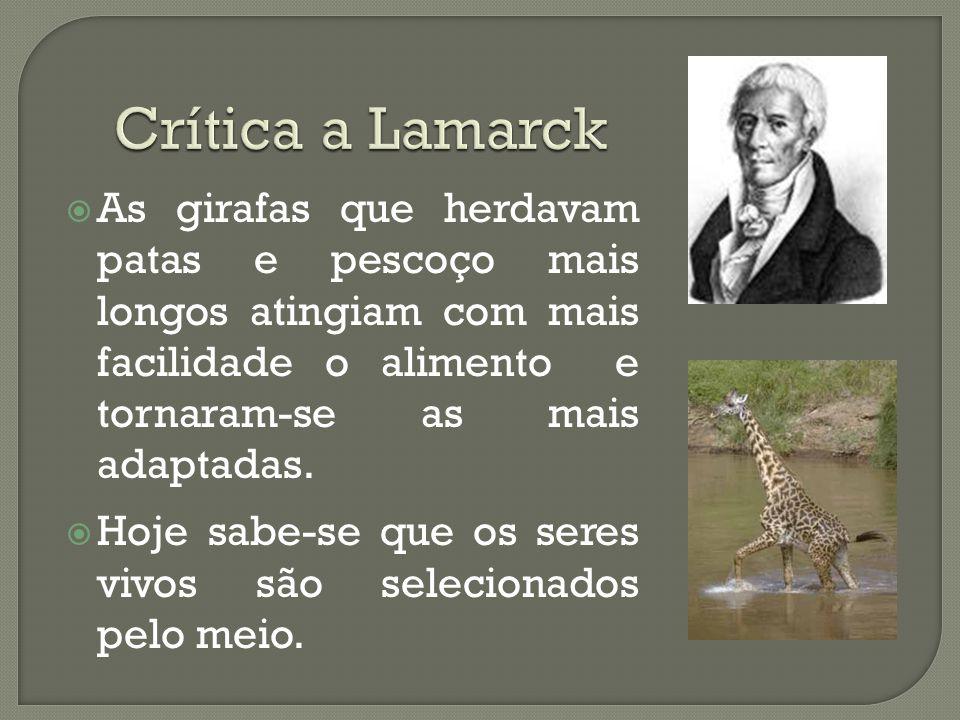 As girafas que herdavam patas e pescoço mais longos atingiam com mais facilidade o alimento e tornaram-se as mais adaptadas. Hoje sabe-se que os seres