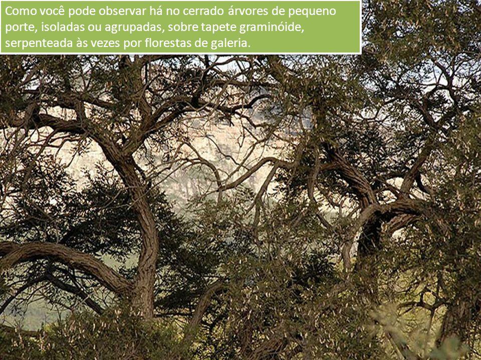 Como você pode observar há no cerrado árvores de pequeno porte, isoladas ou agrupadas, sobre tapete graminóide, serpenteada às vezes por florestas de