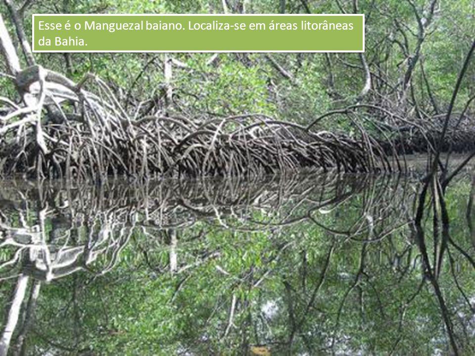 Esse é o Manguezal baiano. Localiza-se em áreas litorâneas da Bahia.