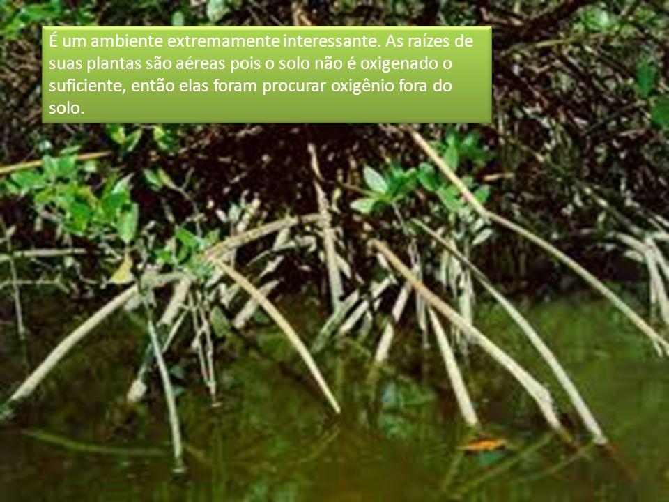 É um ambiente extremamente interessante. As raízes de suas plantas são aéreas pois o solo não é oxigenado o suficiente, então elas foram procurar oxig