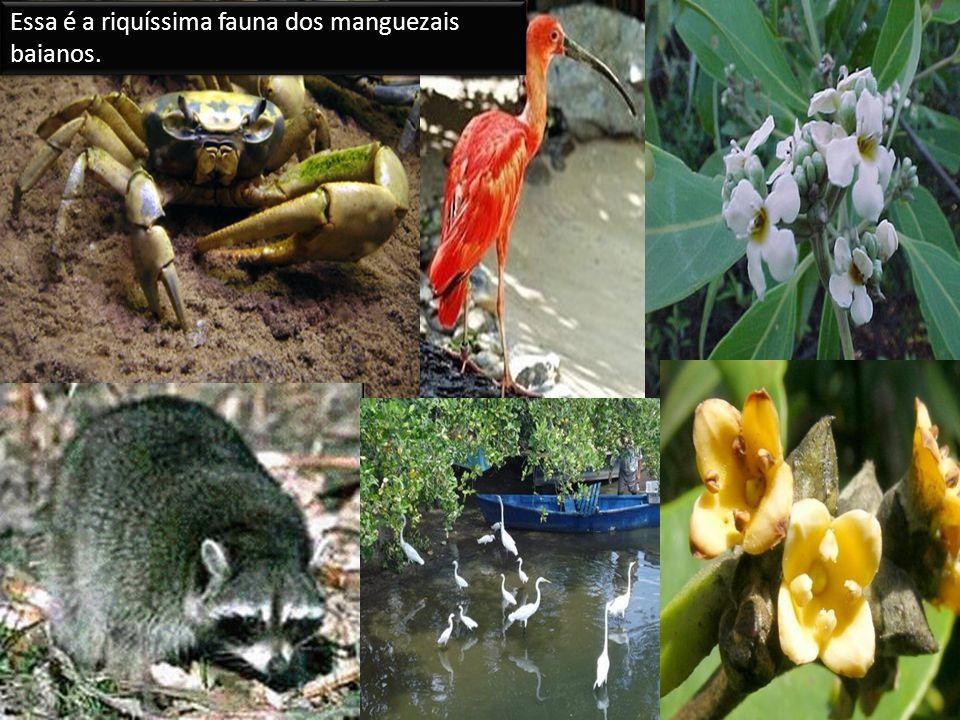 Essa é a riquíssima fauna dos manguezais baianos.