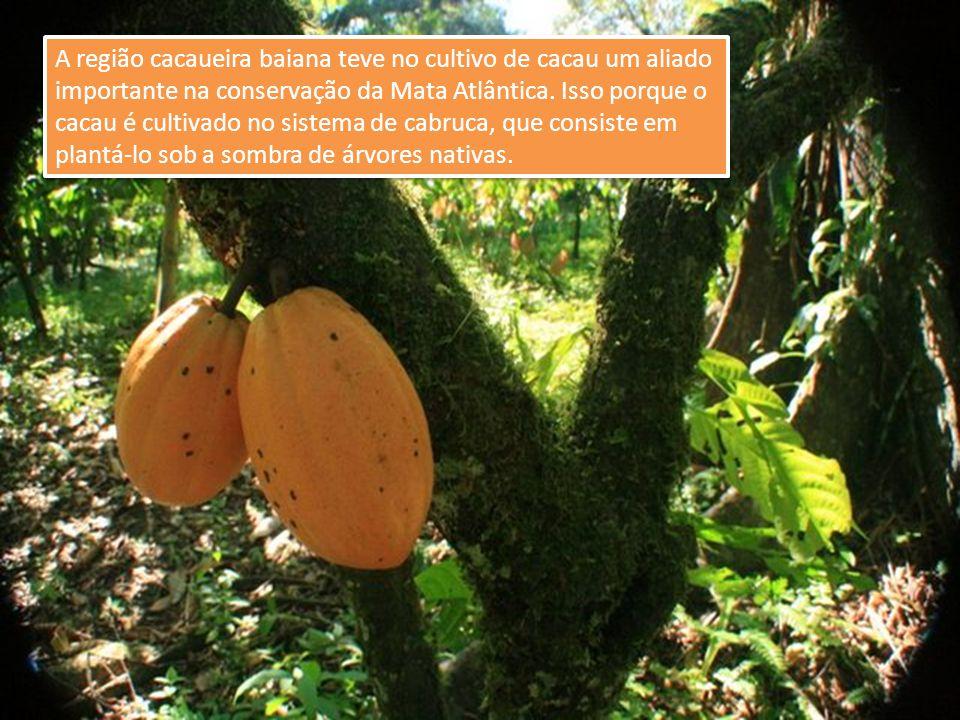 A região cacaueira baiana teve no cultivo de cacau um aliado importante na conservação da Mata Atlântica. Isso porque o cacau é cultivado no sistema d
