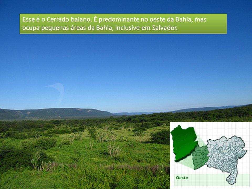 Esse é o Cerrado baiano. É predominante no oeste da Bahia, mas ocupa pequenas áreas da Bahia, inclusive em Salvador.
