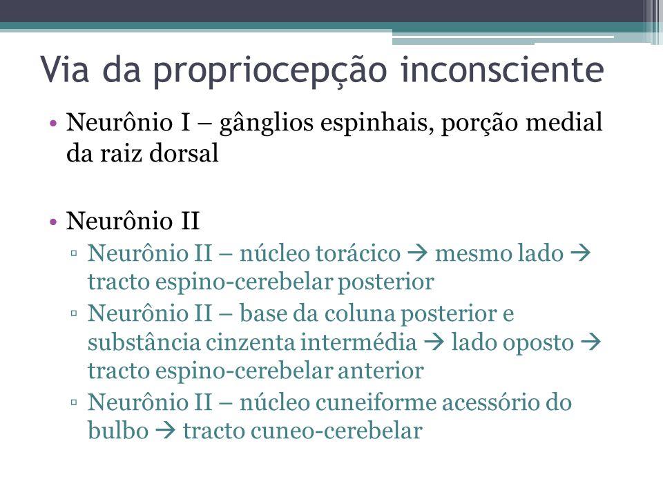 Via da propriocepção inconsciente Neurônio I – gânglios espinhais, porção medial da raiz dorsal Neurônio II Neurônio II – núcleo torácico mesmo lado tracto espino-cerebelar posterior Neurônio II – base da coluna posterior e substância cinzenta intermédia lado oposto tracto espino-cerebelar anterior Neurônio II – núcleo cuneiforme acessório do bulbo tracto cuneo-cerebelar