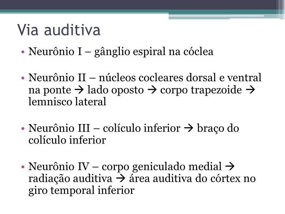 Via auditiva Neurônio I – gânglio espiral na cóclea Neurônio II – núcleos cocleares dorsal e ventral na ponte lado oposto corpo trapezoide lemnisco lateral Neurônio III – colículo inferior braço do colículo inferior Neurônio IV – corpo geniculado medial radiação auditiva área auditiva do córtex no giro temporal inferior
