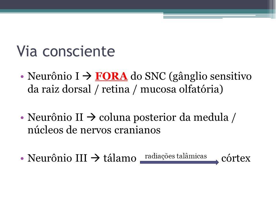 Via consciente Neurônio I FORA do SNC (gânglio sensitivo da raiz dorsal / retina / mucosa olfatória) Neurônio II coluna posterior da medula / núcleos de nervos cranianos Neurônio III tálamo radiações talâmicas córtex