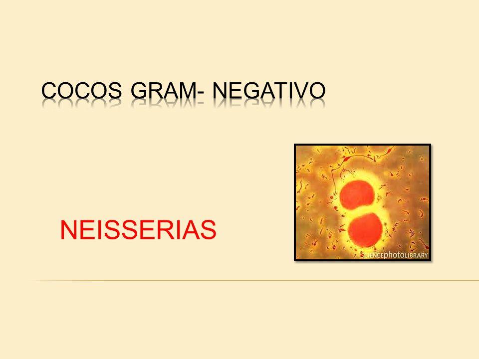 As Neisserias são diplococos Gram-negativos, possuindo cerca de 0,8u de diâmetro.