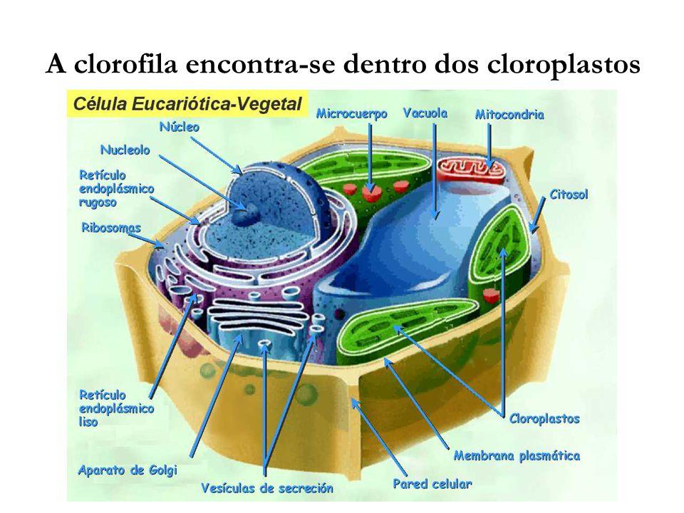 A clorofila encontra-se dentro dos cloroplastos