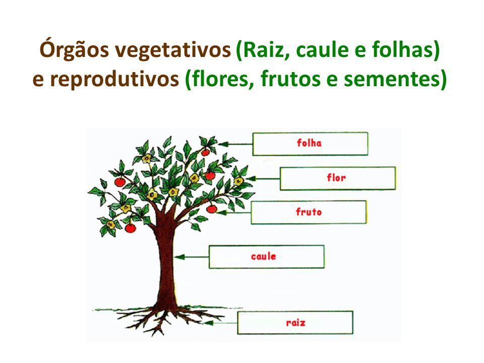 Órgãos vegetativos (Raiz, caule e folhas) e reprodutivos (flores, frutos e sementes)