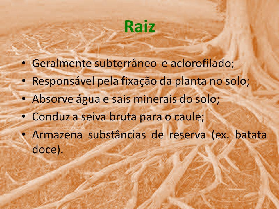 Raiz Geralmente subterrâneo e aclorofilado; Responsável pela fixação da planta no solo; Absorve água e sais minerais do solo; Conduz a seiva bruta par