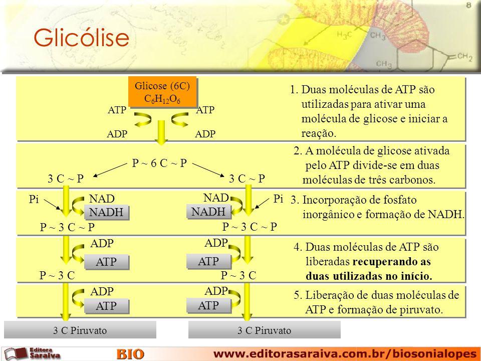 P ~ 6 C ~ P 3 C Piruvato Glicólise Glicose (6C) C 6 H 12 O 6 ADP ATP ADP ATP 1.