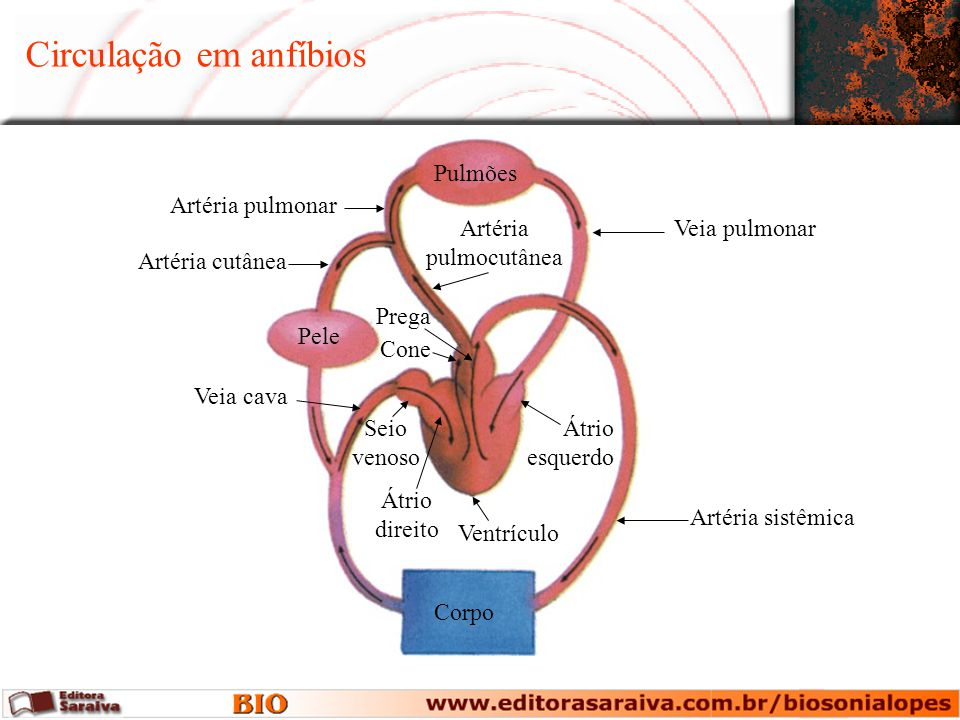 Circulação em anfíbios Corpo Pele Pulmões Artéria pulmonar Artéria cutânea Veia pulmonar Prega Cone Artéria pulmocutânea Átrio esquerdo Ventrículo Artéria sistêmica Veia cava Seio venoso Átrio direito