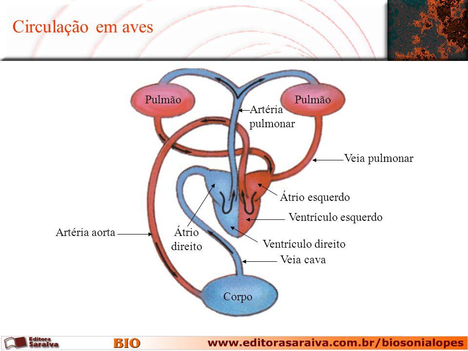 Circulação em aves Corpo Pulmão Artéria pulmonar Veia pulmonar Ventrículo esquerdo Artéria aorta Veia cava Átrio esquerdo Ventrículo direito Átrio dir