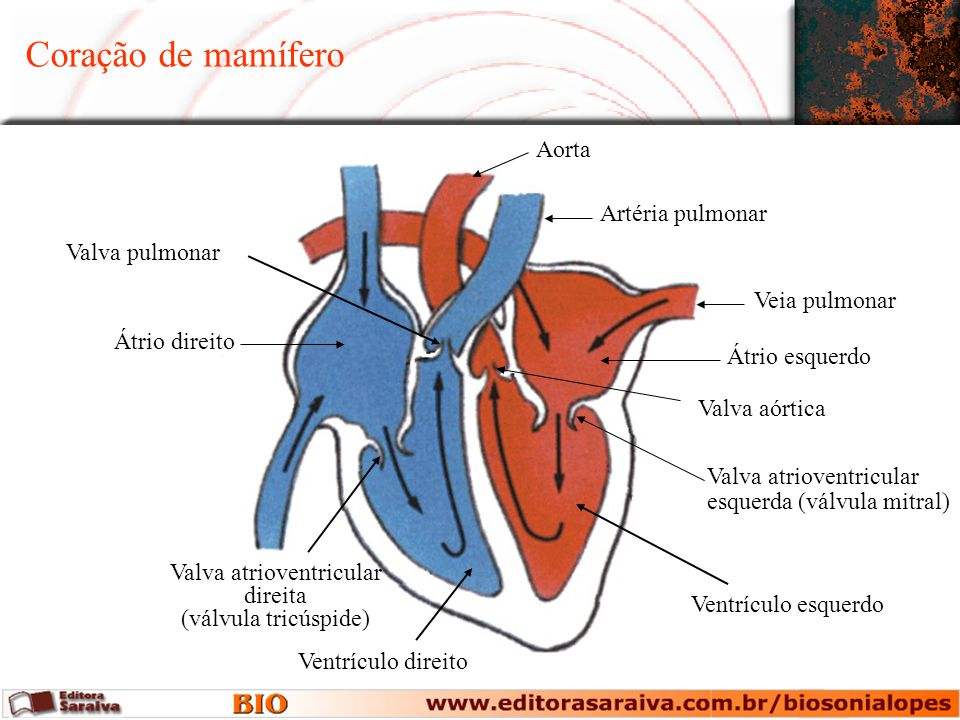Coração de mamífero Átrio direito Valva atrioventricular direita (válvula tricúspide) Ventrículo direito Valva pulmonar Artéria pulmonar Veia pulmonar Átrio esquerdo Valva aórtica Valva atrioventricular esquerda (válvula mitral) Ventrículo esquerdo Aorta