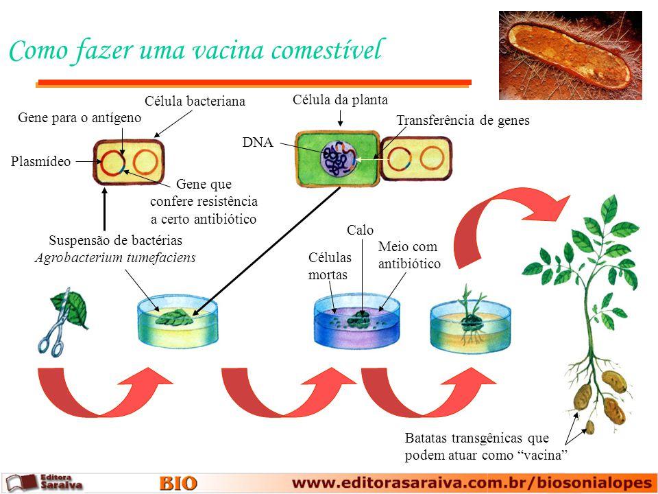 Como fazer uma vacina comestível Batatas transgênicas que podem atuar como vacina Suspensão de bactérias Agrobacterium tumefaciens Calo Células mortas