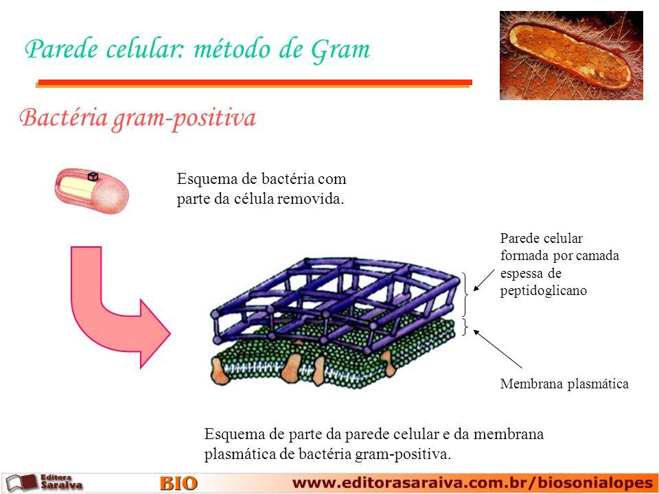 Parede celular: método de Gram Bactéria gram-positiva Esquema de bactéria com parte da célula removida. Membrana plasmática Parede celular formada por