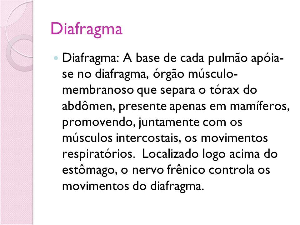 Diafragma Diafragma: A base de cada pulmão apóia- se no diafragma, órgão músculo- membranoso que separa o tórax do abdômen, presente apenas em mamífer