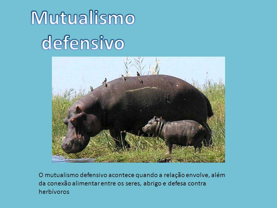 O mutualismo defensivo acontece quando a relação envolve, além da conexão alimentar entre os seres, abrigo e defesa contra herbívoros