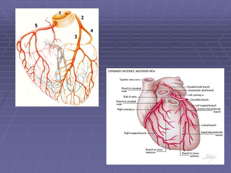 Artéria circunflexa: Origina aos ramos obtusos marginais e o ramo atrioventricular (que continua pelo sulco atrioventricular e cuja magnitude está relacionada ao padrão de dominância).
