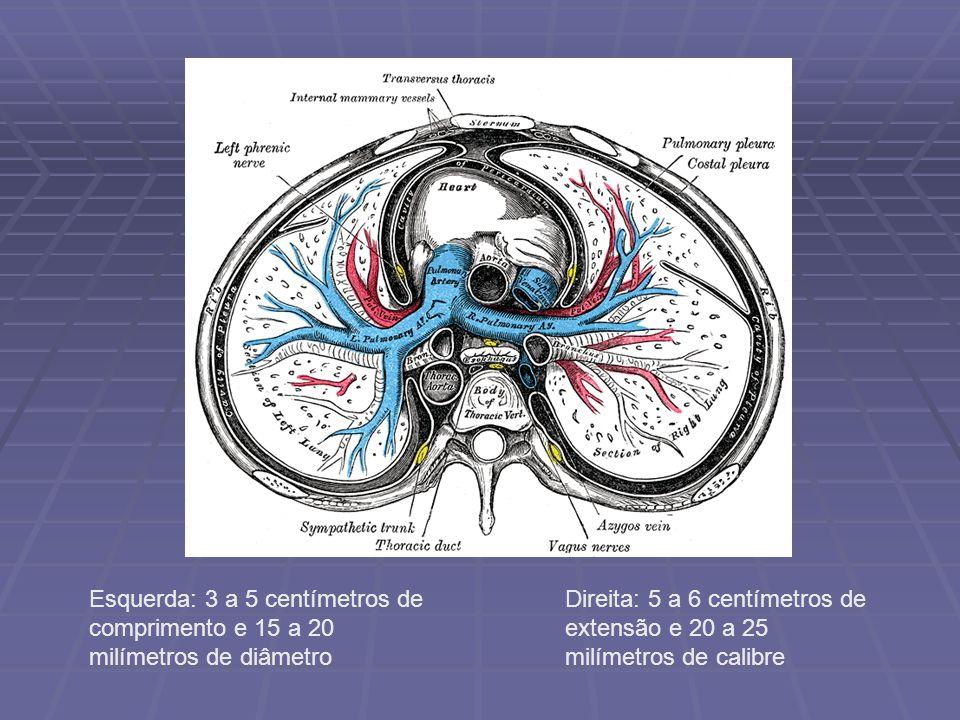 Artéria pulmonar direita: Artéria pulmonar direita: é mais comprida e mais calibrosa do que a artéria pulmonar esquerda é mais comprida e mais calibrosa do que a artéria pulmonar esquerda passando por baixo do arco da aorta e ventralmente ao brônquio principal direito alcança o hilo passando por baixo do arco da aorta e ventralmente ao brônquio principal direito alcança o hilo Artéria pulmonar esquerda: Artéria pulmonar esquerda: partindo do tronco pulmonar e passando ventralmente ao brônquio principal esquerdo alcança o hilo partindo do tronco pulmonar e passando ventralmente ao brônquio principal esquerdo alcança o hilo ligada ao arco da aorta pelo ligamento arterioso ligada ao arco da aorta pelo ligamento arterioso