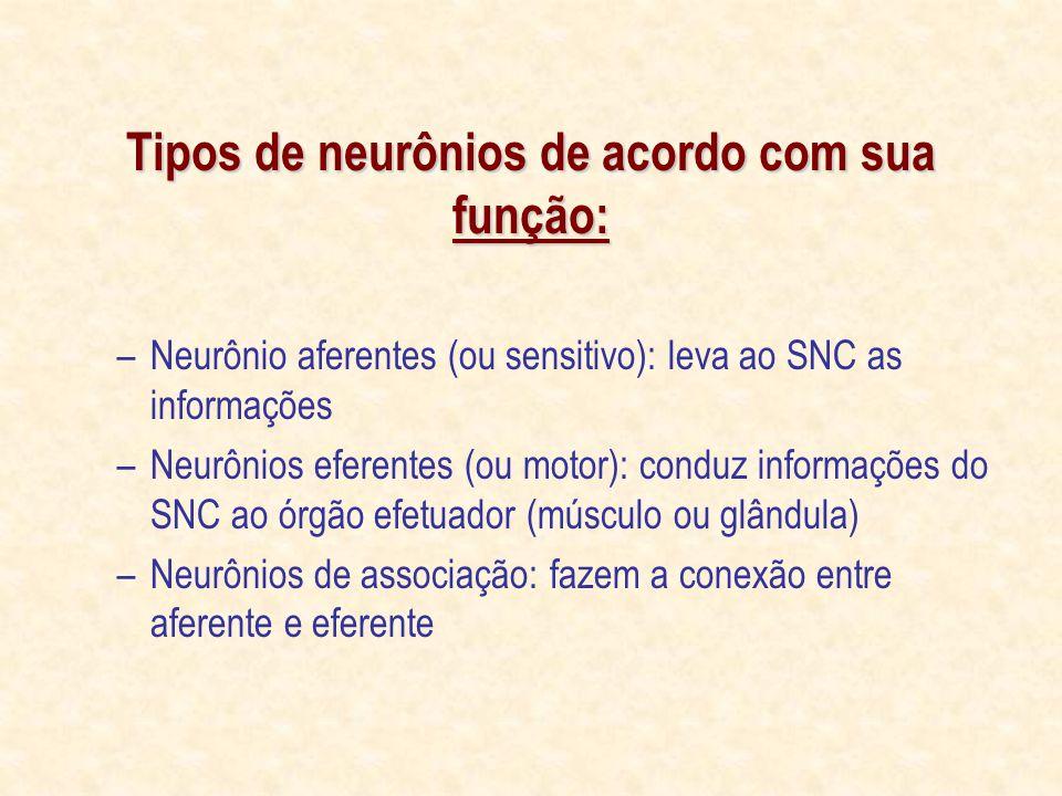 Tipos de neurônios de acordo com sua função: –Neurônio aferentes (ou sensitivo): leva ao SNC as informações –Neurônios eferentes (ou motor): conduz informações do SNC ao órgão efetuador (músculo ou glândula) –Neurônios de associação: fazem a conexão entre aferente e eferente