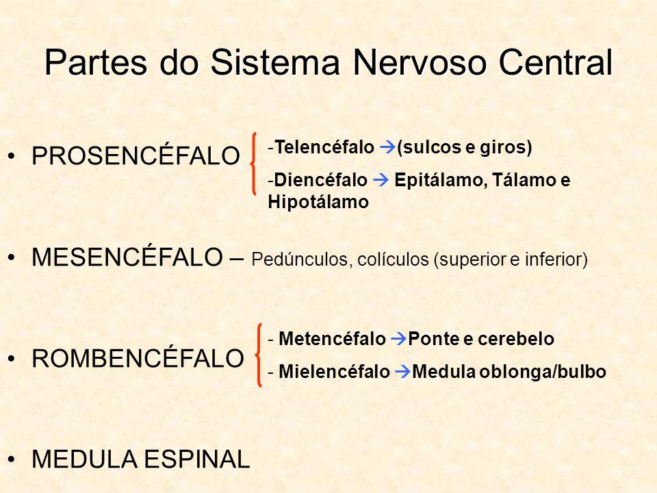 Partes do Sistema Nervoso Central PROSENCÉFALO MESENCÉFALO – Pedúnculos, colículos (superior e inferior) ROMBENCÉFALO MEDULA ESPINAL -Telencéfalo (sulcos e giros) -Diencéfalo Epitálamo, Tálamo e Hipotálamo - Metencéfalo Ponte e cerebelo - Mielencéfalo Medula oblonga/bulbo