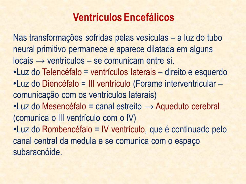 Ventrículos Encefálicos Nas transformações sofridas pelas vesículas – a luz do tubo neural primitivo permanece e aparece dilatada em alguns locais ventrículos – se comunicam entre si.