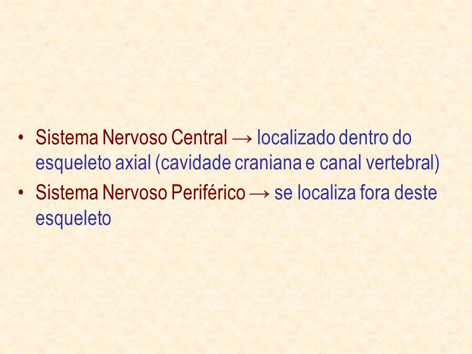 Sistema Nervoso Central localizado dentro do esqueleto axial (cavidade craniana e canal vertebral) Sistema Nervoso Periférico se localiza fora deste esqueleto