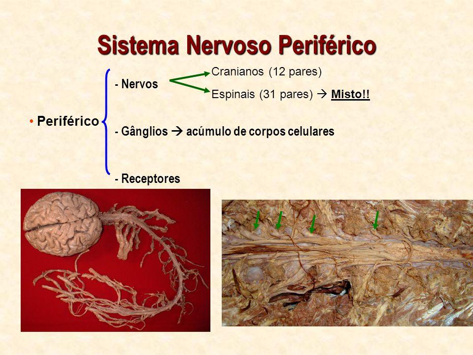 Sistema Nervoso Periférico Periférico - Nervos - Gânglios acúmulo de corpos celulares - Receptores Cranianos (12 pares) Espinais (31 pares) Misto!!