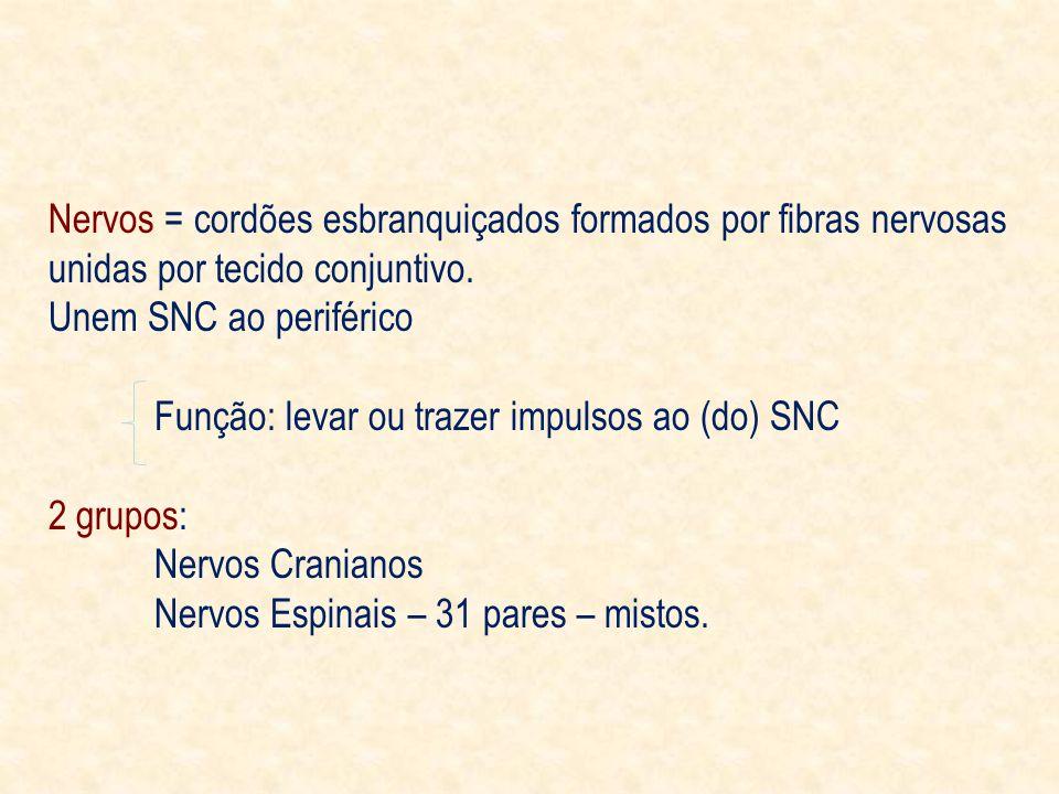 Nervos = cordões esbranquiçados formados por fibras nervosas unidas por tecido conjuntivo.