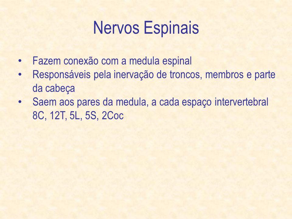 Nervos Espinais Fazem conexão com a medula espinal Responsáveis pela inervação de troncos, membros e parte da cabeça Saem aos pares da medula, a cada espaço intervertebral 8C, 12T, 5L, 5S, 2Coc