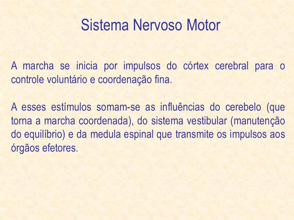 Sistema Nervoso Motor A marcha se inicia por impulsos do córtex cerebral para o controle voluntário e coordenação fina.