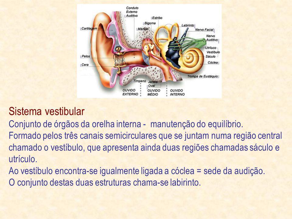Sistema vestibular Conjunto de órgãos da orelha interna - manutenção do equilíbrio.