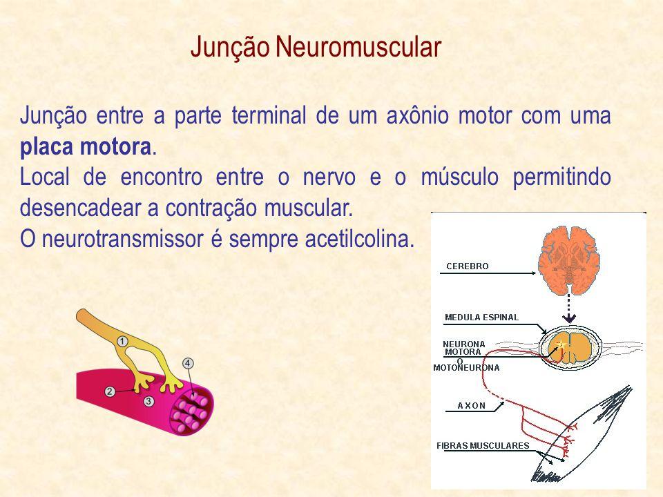 Junção Neuromuscular Junção entre a parte terminal de um axônio motor com uma placa motora.