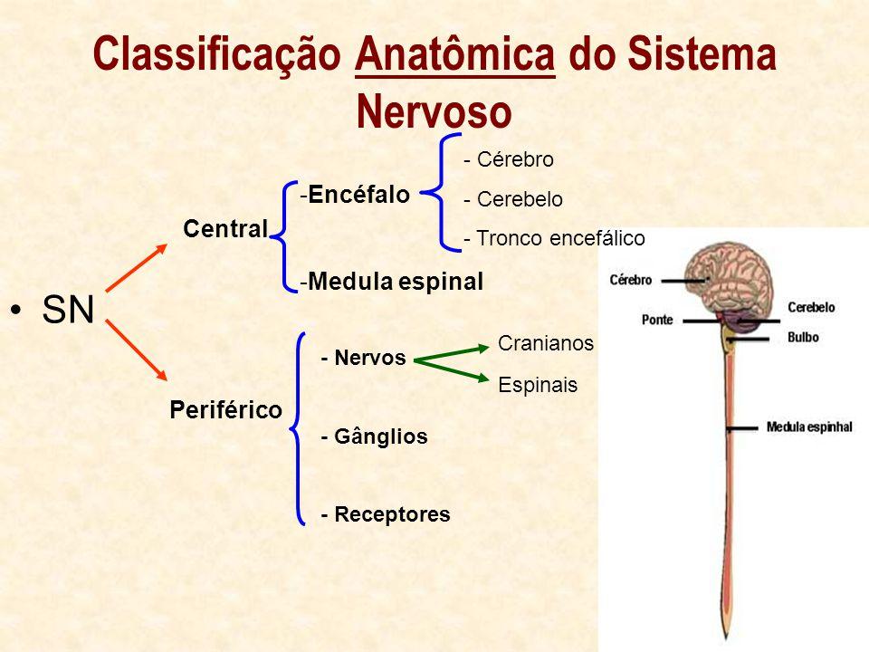 Classificação Anatômica do Sistema Nervoso SN Central Periférico -Encéfalo -Medula espinal - Cérebro - Cerebelo - Tronco encefálico - Nervos - Gânglios - Receptores Cranianos Espinais