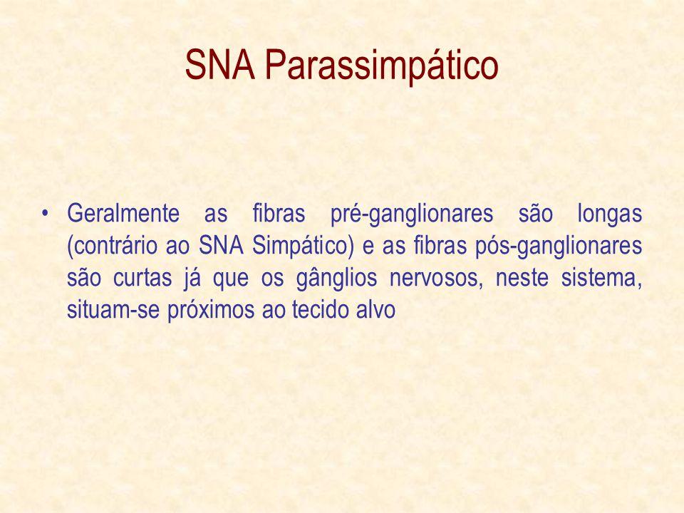 SNA Parassimpático Geralmente as fibras pré-ganglionares são longas (contrário ao SNA Simpático) e as fibras pós-ganglionares são curtas já que os gânglios nervosos, neste sistema, situam-se próximos ao tecido alvo