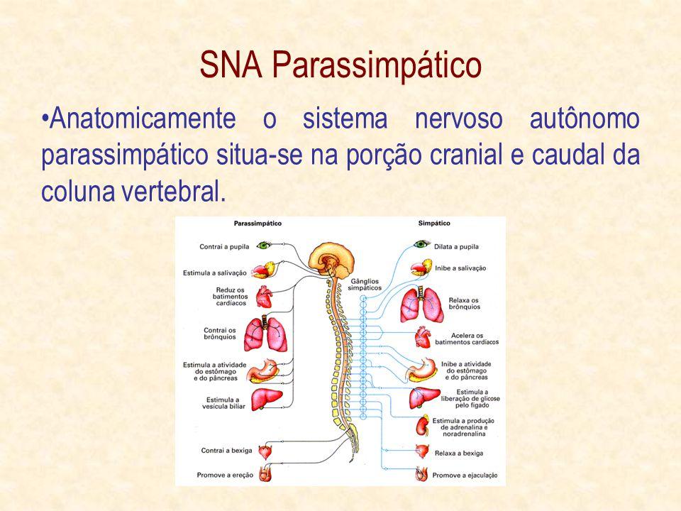SNA Parassimpático Anatomicamente o sistema nervoso autônomo parassimpático situa-se na porção cranial e caudal da coluna vertebral.