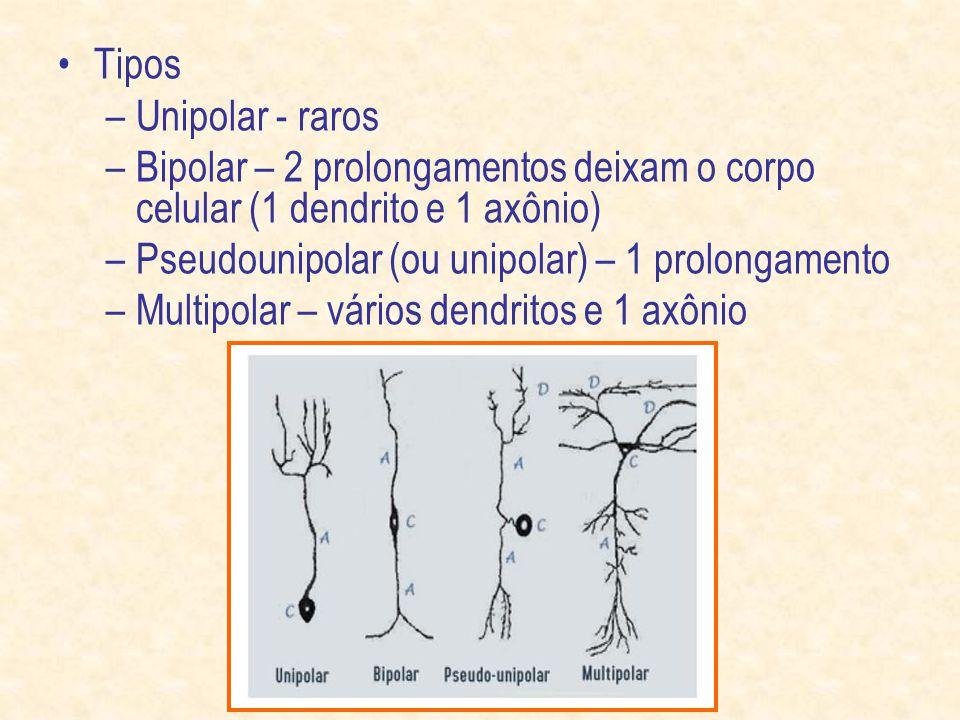 Tipos –Unipolar - raros –Bipolar – 2 prolongamentos deixam o corpo celular (1 dendrito e 1 axônio) –Pseudounipolar (ou unipolar) – 1 prolongamento –Multipolar – vários dendritos e 1 axônio