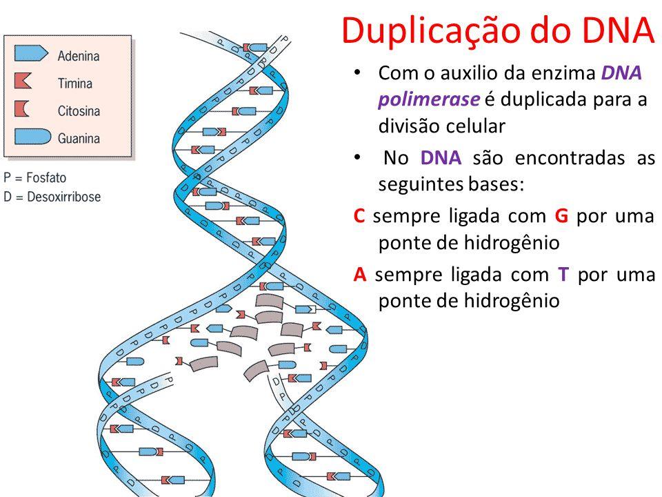 Duplicação do DNA Com o auxilio da enzima DNA polimerase é duplicada para a divisão celular No DNA são encontradas as seguintes bases: C sempre ligada
