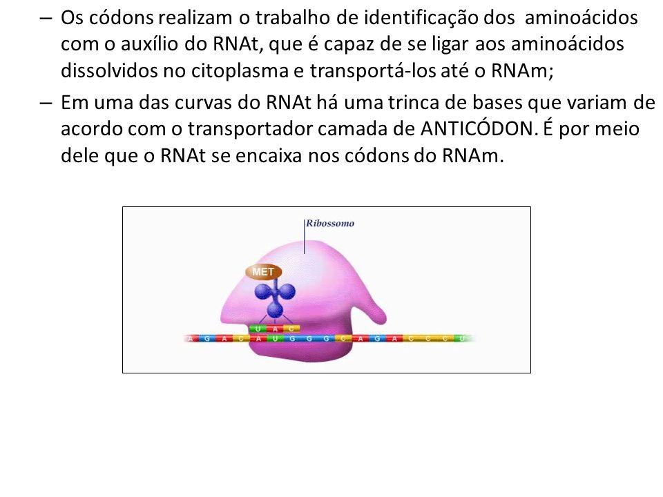 – Os códons realizam o trabalho de identificação dos aminoácidos com o auxílio do RNAt, que é capaz de se ligar aos aminoácidos dissolvidos no citopla