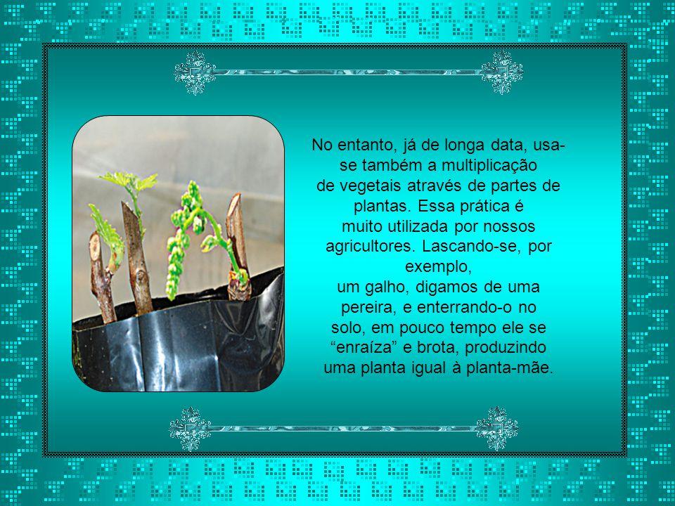 No entanto, já de longa data, usa- se também a multiplicação de vegetais através de partes de plantas.