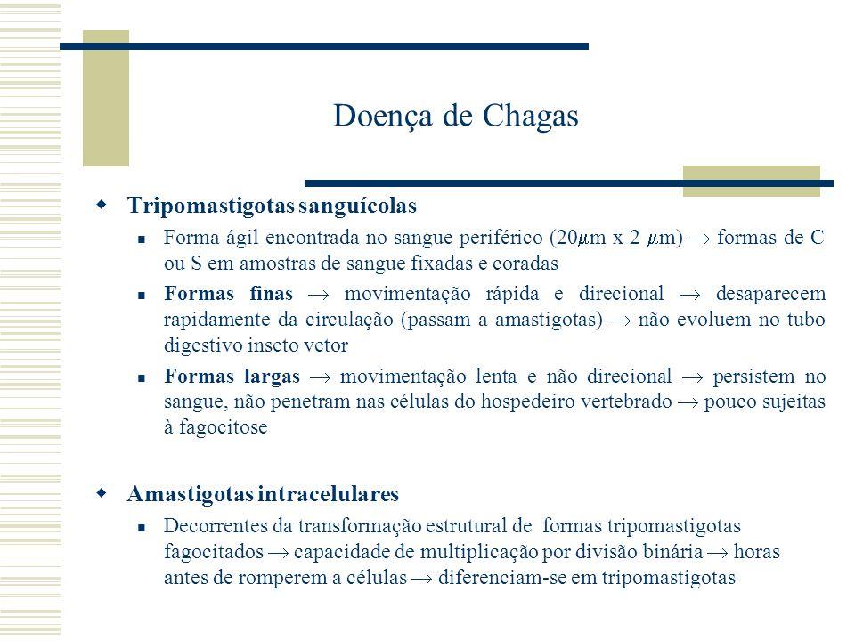 Doença de Chagas Tripomastigotas sanguícolas Forma ágil encontrada no sangue periférico (20 m x 2 m) formas de C ou S em amostras de sangue fixadas e