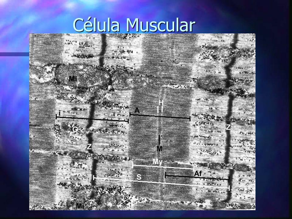 1. Bases Neuromotoras Unidade Motora Placa Neuromotora Fuso Muscular Órgão Tendinoso de Golgi