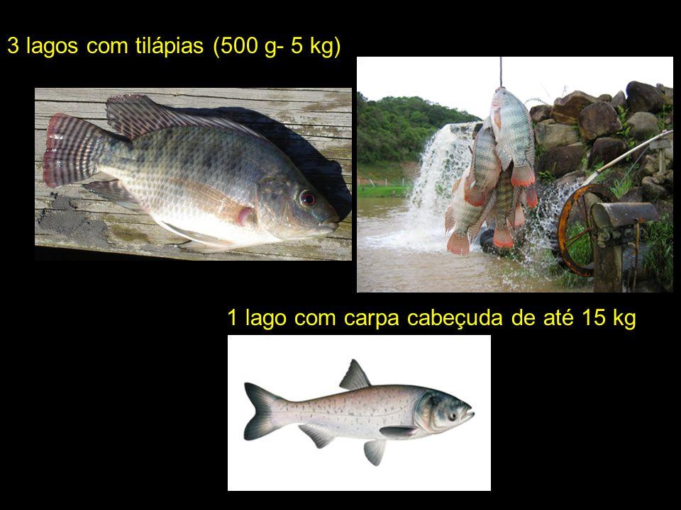 Á 3 lagos com tilápias (500 g- 5 kg) 1 lago com carpa cabeçuda de até 15 kg