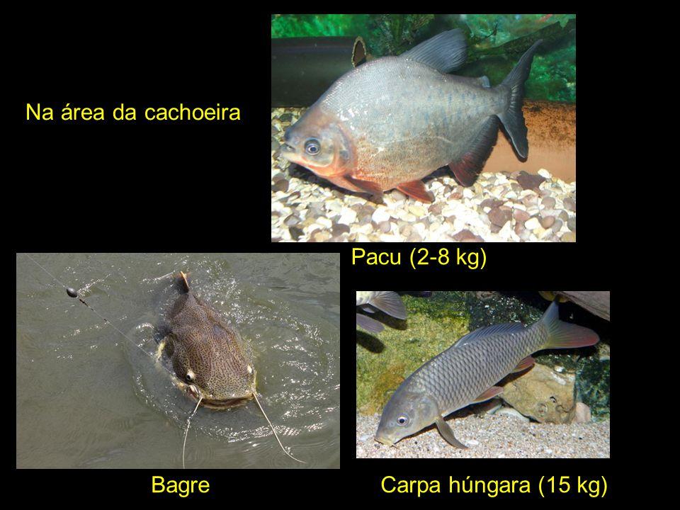 Na área da cachoeira Pacu (2-8 kg) Bagre Carpa húngara (15 kg)